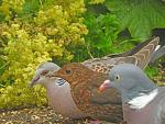 Click image for larger version.  Name:turtle dove 2.jpg Views:235 Size:89.4 KB ID:30264
