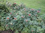 Click image for larger version.  Name:rosehips 1.jpg Views:42 Size:39.7 KB ID:34895